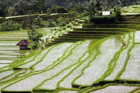 Rice Plant Bali Stock Photo