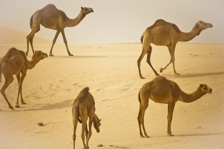 Camel in the Desert photo