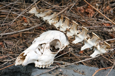 coconino national forest: Skeletal in the Coconino National Forest