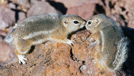 Chipmunk in love Stock Photo