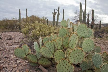 Saguaro National Park, Arizona USA