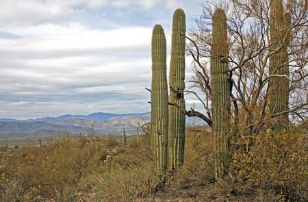 Saguaro National Park, Arizona USA photo