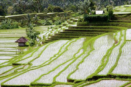 traveled: Rice terraces in Bali