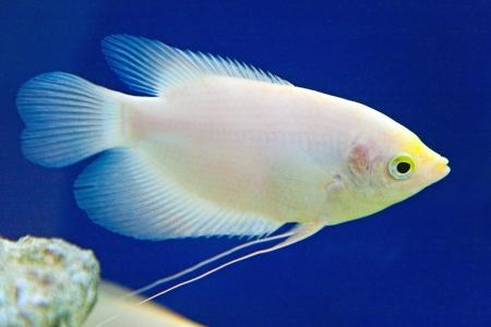 ornamental fish: I pesci ornamentali in acquario