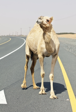 Camel on the Road in Abu Dhabi photo