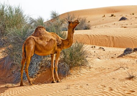 Camel in the desert of UAE photo