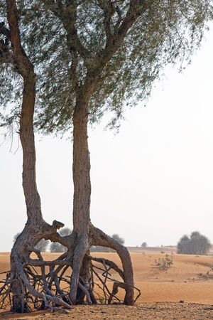 Olive trees in the desert Stock Photo