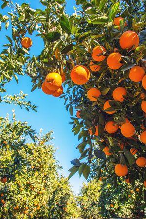 Orange Plant in California