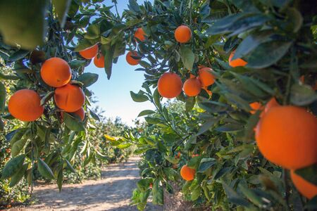 citruses: Orangenplantage in Californien
