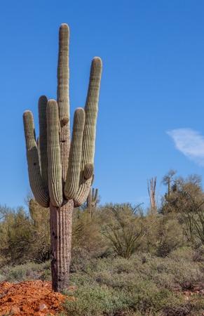 Saguarocactus in Arizona