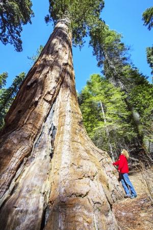 Sequoias in Yosemite National Park in California