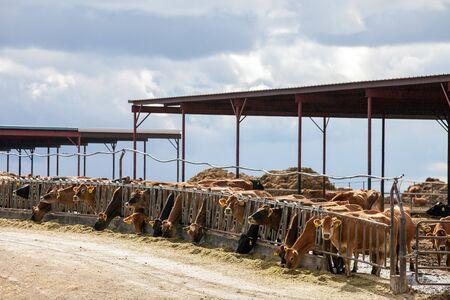 idaho: Cattle in Idaho Stock Photo
