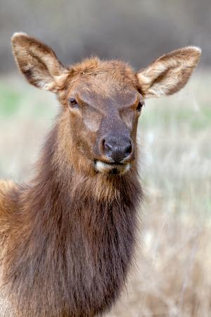 roosevelt: Roosevelt elk herd in California