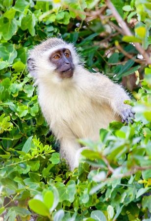 Vervet Monkey in iSimangaliso Wetland Park South Africa