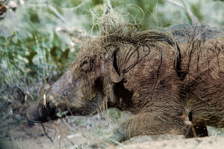 Wild boar in ISimangaliso Wetland Park South Africa