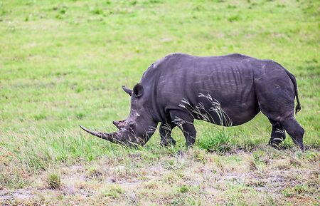 Rhino in the Greater St. Lucia Wetland Park Stock Photo