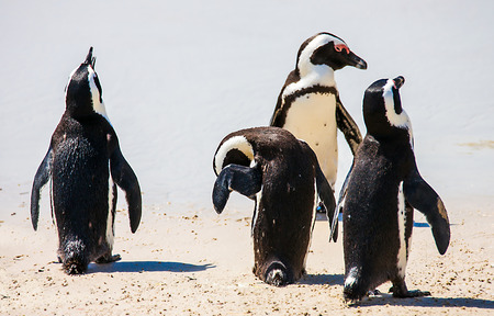 penguins on beach: Penguin colony at False Bay in Simons Town South Africa