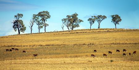 두보 뉴 사우스 웨일즈 호주 근처의 가축 떼 스톡 콘텐츠