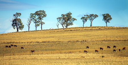 Cattle herd near Dubbo New South Wales Australia