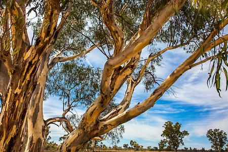 Eucalyptus near Narrandera new South Wales Australia