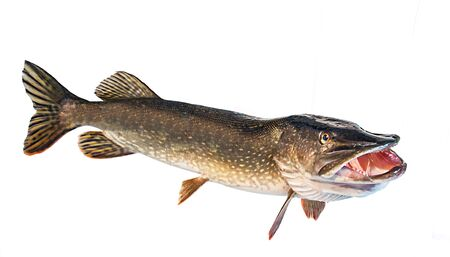 River pike with open throat