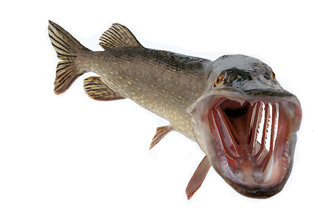 A river pike with wide open mouth free Standard-Bild