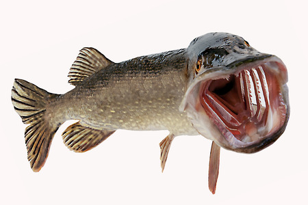 A river pike with wide open mouth free Stock Photo