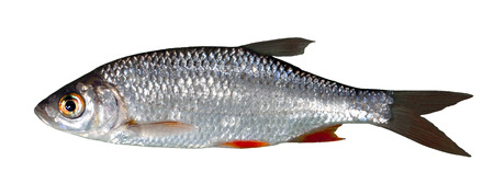 Rudd freshwater fish Friedfisch white fish free