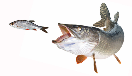 River pike with open maw hunting ruddling feather isolated Stock Photo