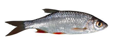 Rudd freshwater fish Friedfisch white fish free
