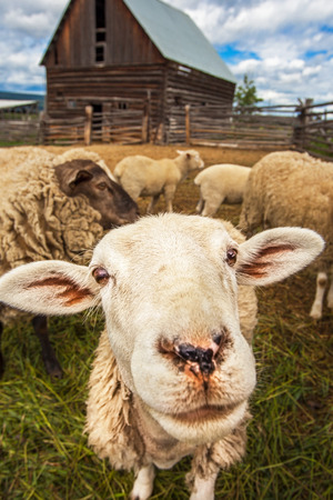 Flock of sheep at Williams Lake British Columbia Canada