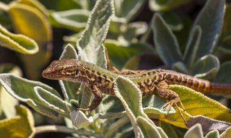 Wall lizard Podarcis muralis basks in a sage bush in Italy