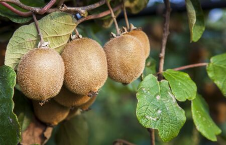 Kiwi fruits on an orchard in southern Italy Фото со стока