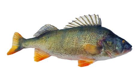 Perch Perca fluviatilis released with raised dorsal fin