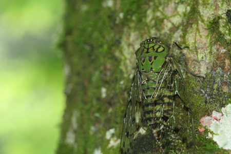Green, colorful cicada camouflaged with tree; blending in Stock Photo