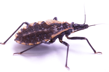 Kissing bug closeup; human health hazard, triatomid