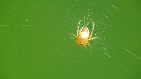 Little pumpkin spider on the wait