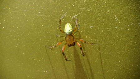 Little cucumber green spider on green metallic surface