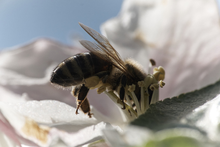 Pollinating Honey bee collecting pollen Banco de Imagens