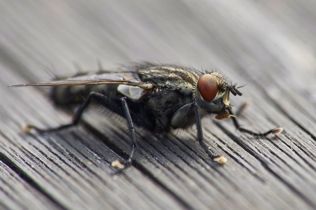 flesh fly on wooden surface macro