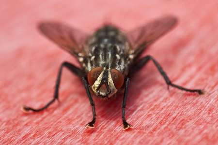 flesh fly on red surface macro
