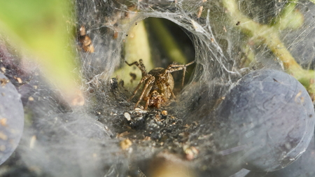 spider sitting in wait in funnel-shaped web