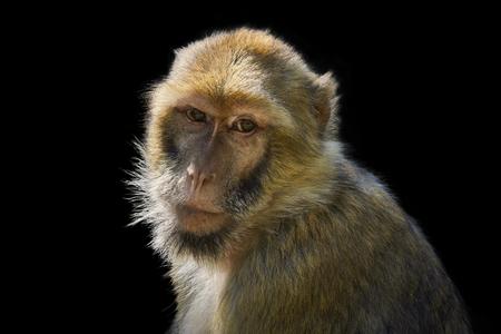 monkey portrait isolated on black background