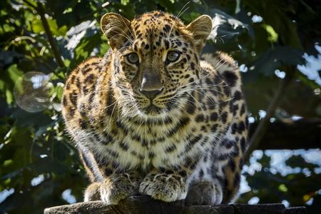 Amur leopard Фото со стока