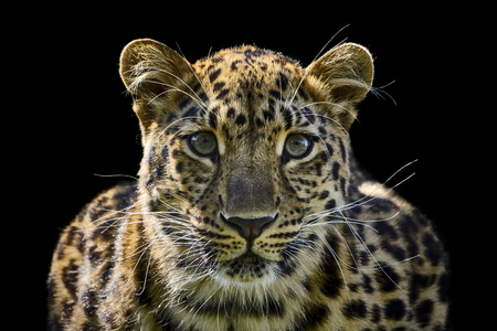 amur leopard isolated on black background