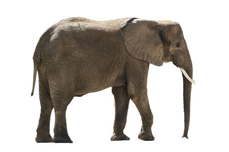 african elephant isolated on white background Stock Photo