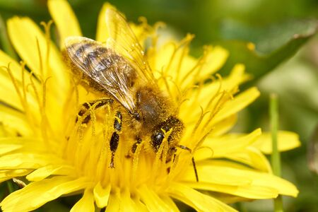 Closeup of a bee being pollinated sitting on a dandelion flower