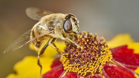 Closeup of a bee being pollinated