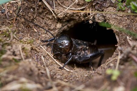 Black male field cricket crawling carefully out of the burrow