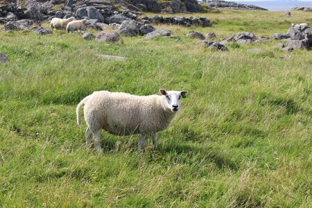 Sheep on the Western Coast of the isle of Karmoy, Norway.